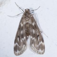 Hygraula nitens (Pond Moth) at Melba, ACT - 29 Mar 2021 by kasiaaus