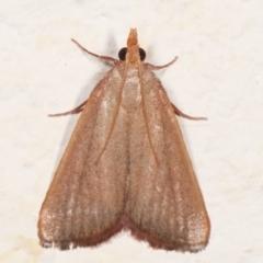 Ocrasa acerasta (A Pyralid moth) at Melba, ACT - 29 Mar 2021 by kasiaaus