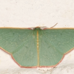 Chlorocoma dichloraria (Doubled-fringed or Guenee's Emerald) at Melba, ACT - 29 Mar 2021 by kasiaaus