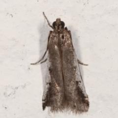 Assara subarcuella (a Phycitine Moth) at Melba, ACT - 29 Mar 2021 by kasiaaus