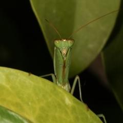 Orthodera ministralis (Garden mantis) at Melba, ACT - 29 Mar 2021 by kasiaaus