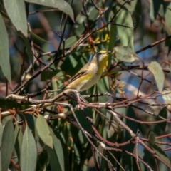 Pardalotus striatus (Striated Pardalote) at Jerrabomberra Grassland - 2 Apr 2021 by trevsci