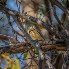 Pachycephala rufiventris (Rufous Whistler) at Jerrabomberra, ACT - 2 Apr 2021 by trevsci