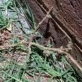 Limnodynastes tasmaniensis at Albury - 5 Apr 2021