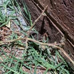 Limnodynastes tasmaniensis (Spotted Grass Frog) at Albury - 5 Apr 2021 by ChrisAllen