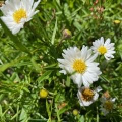 Brachyscome graminea (Grass Daisy) at Namadgi National Park - 5 Apr 2021 by KL