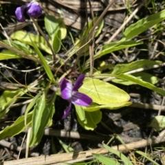 Viola betonicifolia (Purple Violet) at Namadgi National Park - 5 Apr 2021 by KL