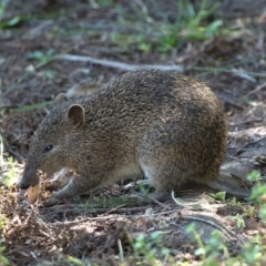 Isoodon obesulus (Southern Brown Bandicoot) at Tidbinbilla Nature Reserve - 5 Apr 2021 by patrickcox