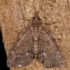 Microdes (genus) at Melba, ACT - 30 Mar 2021 by kasiaaus