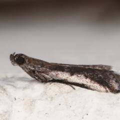 Assara subarcuella (a Phycitine Moth) at Melba, ACT - 30 Mar 2021 by kasiaaus