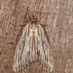 Ciampa arietaria (Forked Pasture-moth) at Melba, ACT - 31 Mar 2021 by kasiaaus