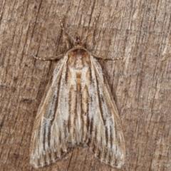 Ciampa arietaria (Brown Pasture Looper Moth) at Melba, ACT - 31 Mar 2021 by kasiaaus