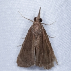 Hypeninae (subfamily) (Snout Moth) at Melba, ACT - 31 Mar 2021 by kasiaaus