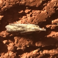 Faveria tritalis (Couchgrass Webworm) at Garran, ACT - 5 Apr 2021 by Tapirlord