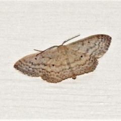 Idaea (genus) (TBC) at Wanniassa, ACT - 4 Apr 2021 by JohnBundock