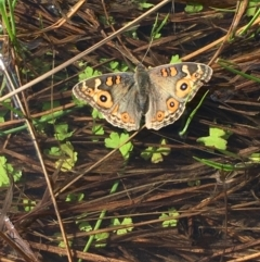 Junonia villida (Meadow Argus) at Mount Clear, ACT - 5 Apr 2021 by JaneR