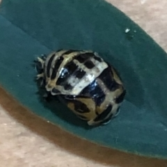 Harmonia conformis (Common Spotted Ladybird) at Lyons, ACT - 5 Apr 2021 by drakes