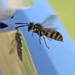 Vespula germanica (European wasp) at Jerrabomberra Wetlands - 5 Apr 2021 by RodDeb