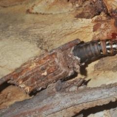 Clania ignobilis at ANBG - 3 Apr 2021