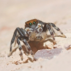 Hypoblemum griseum (A jumping spider) at Belconnen, ACT - 5 Apr 2021 by Harrisi