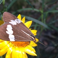Nyctemera amicus (Senecio or Magpie moth) at Isaacs Ridge and Nearby - 5 Apr 2021 by YellowButton