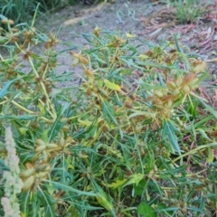 Xanthium spinosum (Bathurst Burr) at O'Malley, ACT - 5 Apr 2021 by Mike