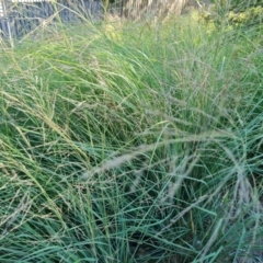 Eragrostis curvula (African Lovegrass) at O'Malley, ACT - 5 Apr 2021 by Mike