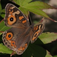 Junonia villida (Meadow Argus) at Chapman, ACT - 26 Mar 2021 by BarrieR