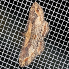 Chloroclystis filata (Filata Moth, Australian Pug Moth) at O'Connor, ACT - 5 Apr 2021 by ibaird