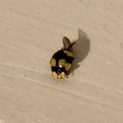 Illeis galbula (Fungus-eating Ladybird) at Aranda, ACT - 5 Apr 2021 by KMcCue