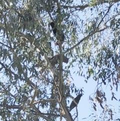 Callocephalon fimbriatum (Gang-gang Cockatoo) at Hughes Garran Woodland - 5 Apr 2021 by ruthkerruish