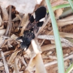 Dieuches maculicollis (Black-and-white seed bug) at Mitchell, ACT - 6 Apr 2021 by tpreston