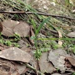 Bunochilus umbrinus (Broad-sepaled Leafy Greenhood) at Holt, ACT - 5 Apr 2021 by CathB
