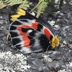 Delias harpalyce (Imperial Jezebel) at Tidbinbilla Nature Reserve - 6 Apr 2021 by JohnBundock