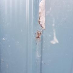Phonognatha graeffei (Leaf curling spider) at Kambah, ACT - 1 Apr 2021 by MatthewFrawley