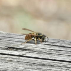 Vespula germanica (European wasp) at Aranda, ACT - 6 Apr 2021 by KMcCue
