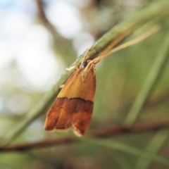 Crocanthes prasinopis (A Curved -horn moth) at Holt, ACT - 24 Mar 2021 by CathB