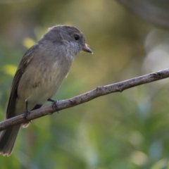 Pachycephala pectoralis (Golden Whistler) at Cook, ACT - 1 Apr 2021 by Tammy