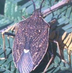 Poecilometis strigatus (Gum Tree Shield Bug) at Dryandra St Woodland - 6 Apr 2021 by Ned_Johnston