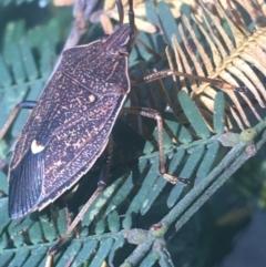 Poecilometis strigatus at Dryandra St Woodland - 6 Apr 2021