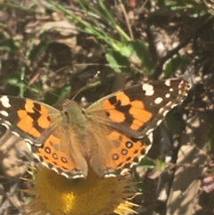 Vanessa kershawi (Australian Painted Lady) at Downer, ACT - 6 Apr 2021 by Ned_Johnston