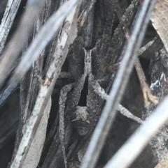 Argoctenus sp. (genus) (Wandering ghost spider) at Black Mountain - 6 Apr 2021 by Ned_Johnston