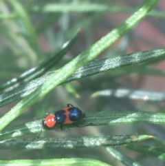 Dicranolaius bellulus (Red and Blue Pollen Beetle) at Black Mountain - 6 Apr 2021 by Ned_Johnston
