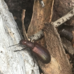Lagriini sp. (tribe) (Unidentified lagriine darkling beetle) at Downer, ACT - 6 Apr 2021 by Ned_Johnston