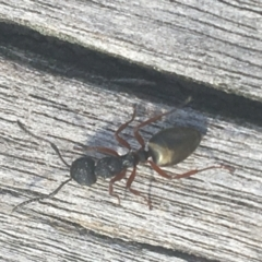 Dolichoderus scabridus (Dolly ant) at Black Mountain - 6 Apr 2021 by Ned_Johnston