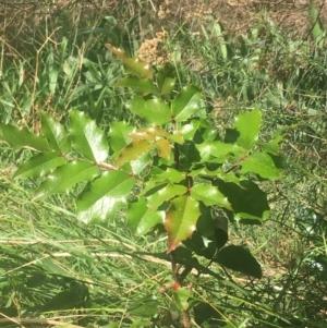 Berberis aquifolium at Dryandra St Woodland - 6 Apr 2021