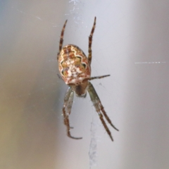 Plebs eburnus (Eastern bush orb-weaver) at Dryandra St Woodland - 4 Apr 2021 by ConBoekel