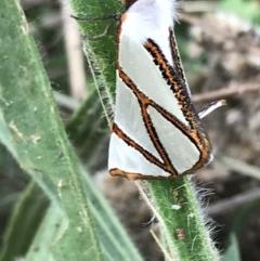 Thalaina clara (Clara's Satin Moth) at Dryandra St Woodland - 6 Apr 2021 by Tapirlord