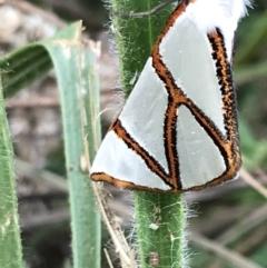 Thalaina clara at Dryandra St Woodland - 6 Apr 2021