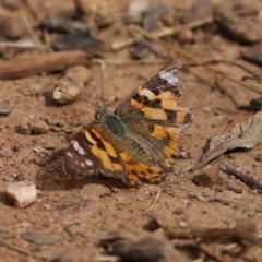 Vanessa kershawi (Australian Painted Lady) at Callum Brae - 6 Apr 2021 by RodDeb